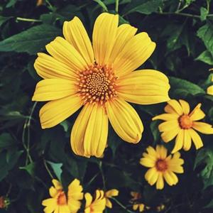 hoa da quỳ vẻ đẹp đi vào thơ ca