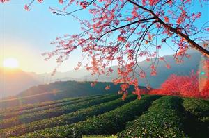 Mùa Hoa Mai Anh Đào Sapa