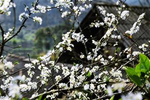 Mùa Xuân lên Mộc Châu ngắm nhìn hoa Hoa Mận