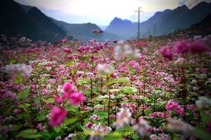 Tour hà giang mùa hoa tam giác mạch 2016 có gì hót