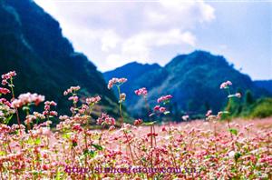 Mùa hoa tam giác mạch hà giang có gì hót