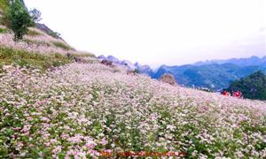 Nơi nào ở Hà Giang nhiều hoa tam giác mạch ?